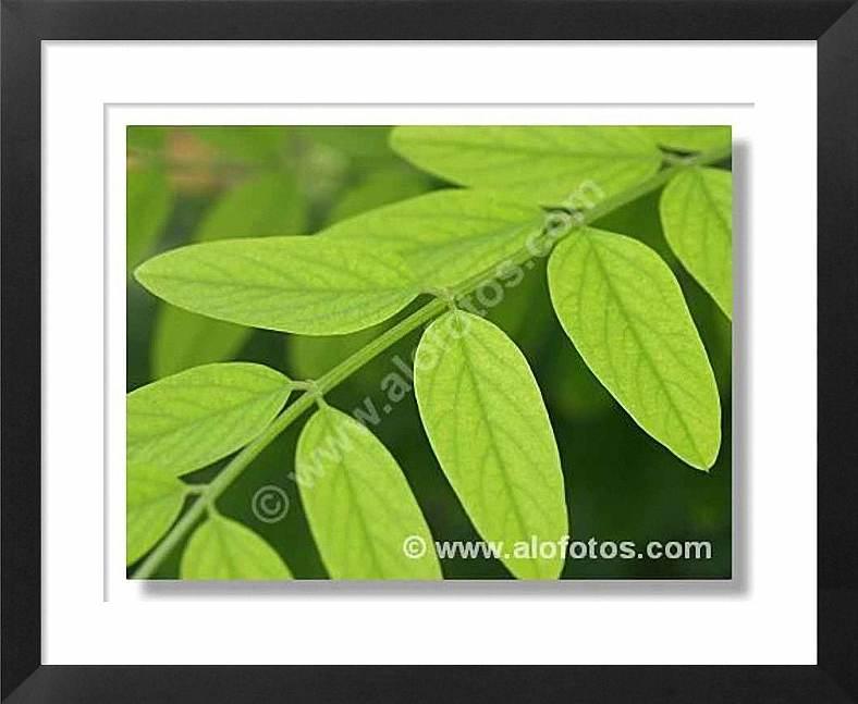 hojas compuestas de Robinia paseudoacaci