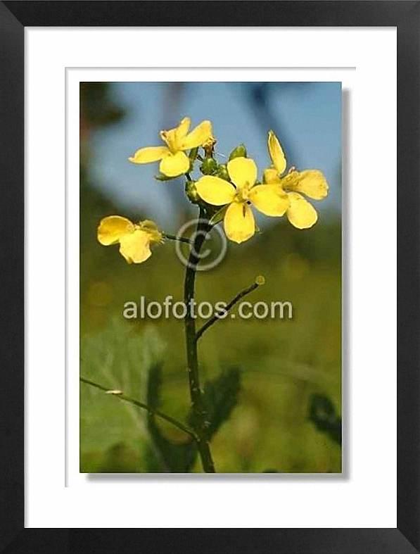 flores amarillas, jaramagos