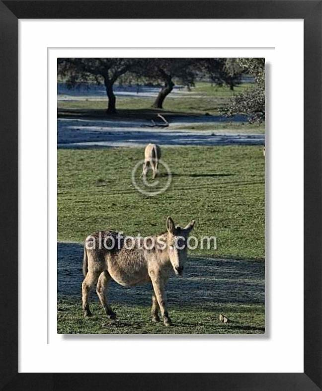 burro, caballo
