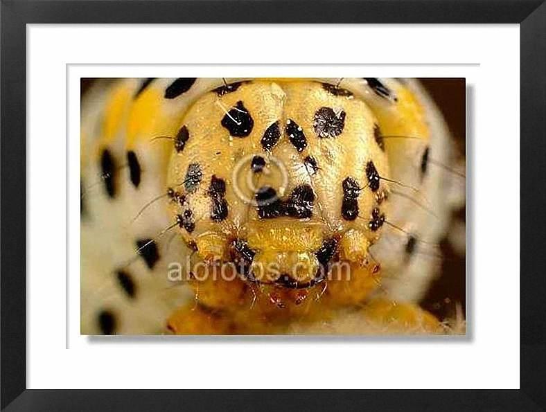 cabeza de oruga, Macrofotografía extrema