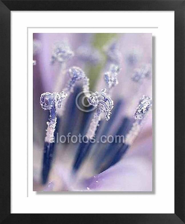 Fotomacrografía, flores de achicoria
