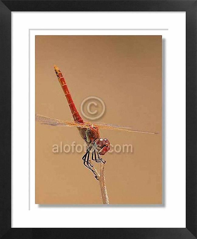 odonato, libélula
