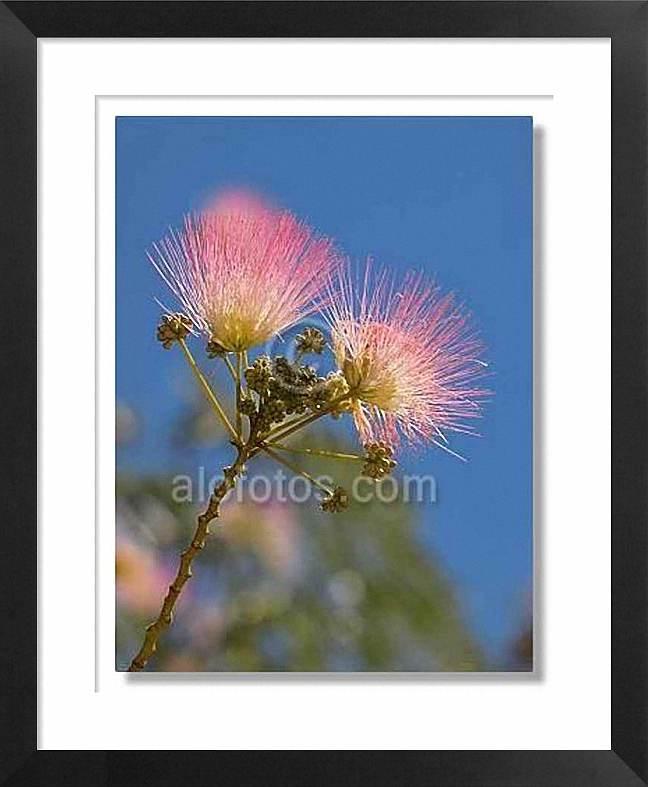arboles ornamentales, flor de acacia de Constantinopla