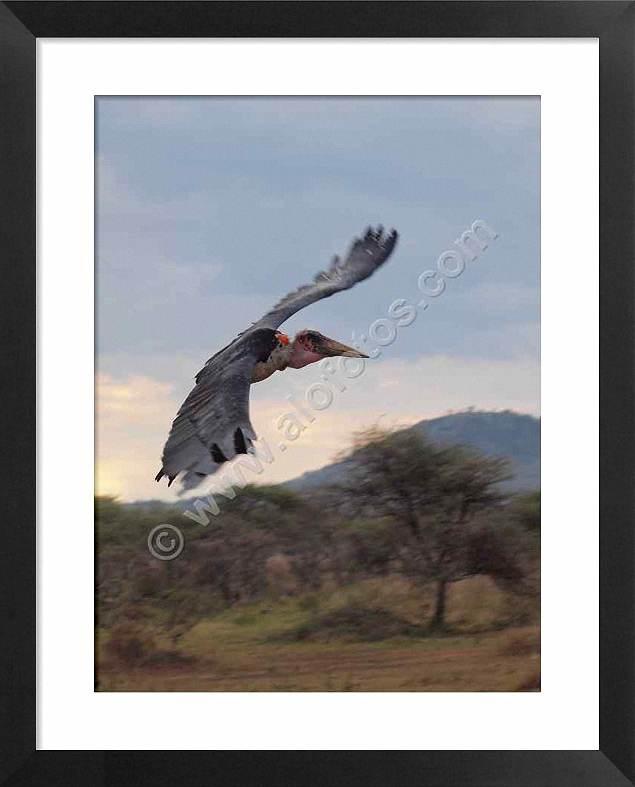 Aves de Tanzania, marabú