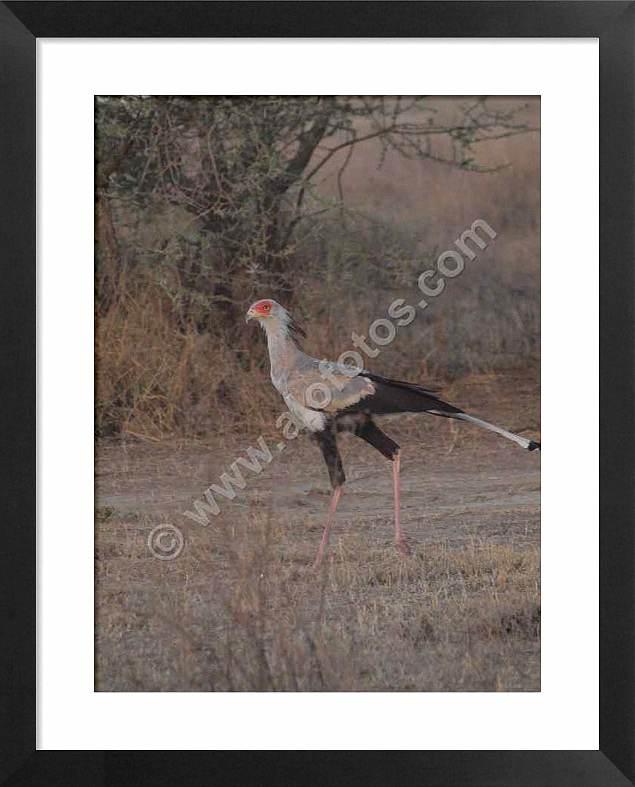 Aves del Serengeti