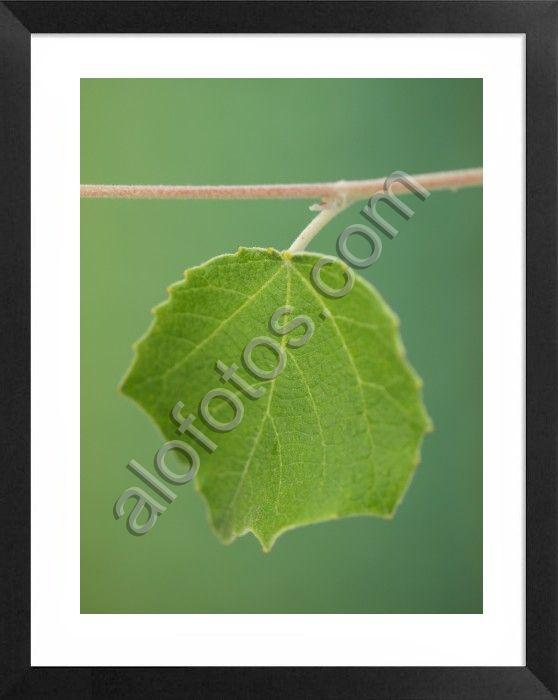 hoja simple de álamo en tipos de hojas