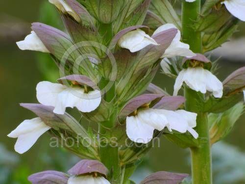 flores de acanto