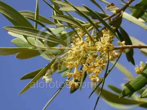 flores de olivo. Alergia