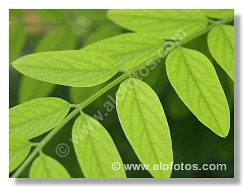 foto: hojas, tipos, nombre científico: Robinia pseudoacacia