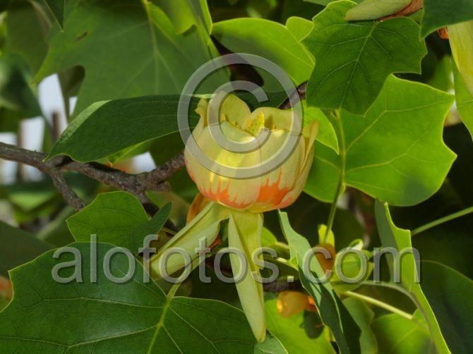 flores del arbol ornamental tulipero