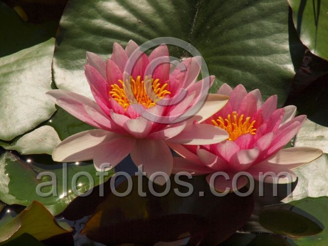 planta acuatica ornamental nenufar