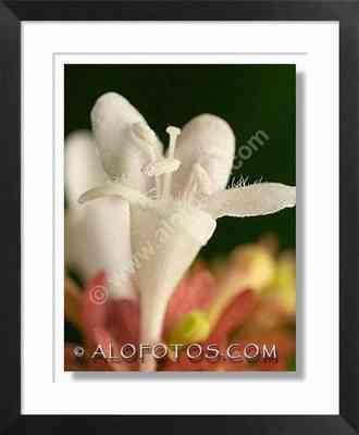 abelia grandiflora - flores blancas