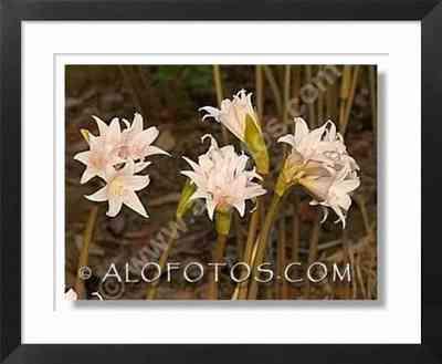 amaryllis belladona - Plantas ornamentales