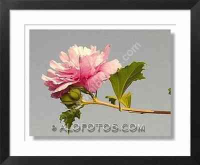 hybiscus syriacus - Plantas ornamentales
