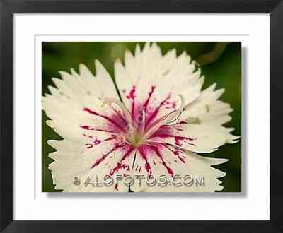 dianthus barbatus, clavel - flores blancas