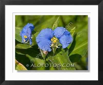 flor azul, commelina coelestis