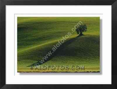 Paisajes con sombras, olivo al atardecer - campos de cultivo