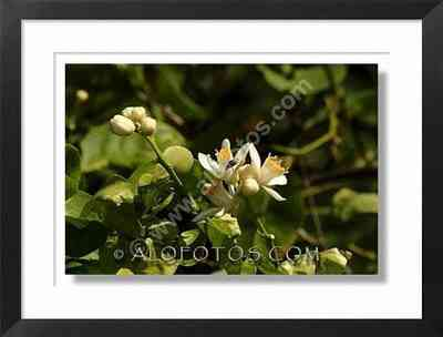 flores de azahar de limonero, Citrus limon - flores blancas