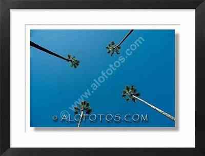 palmeras, washingtonia robusta