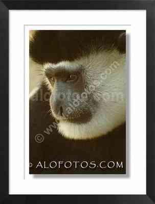mono. Cara de colobo - animales de asia