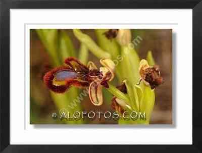orquidea silvestre