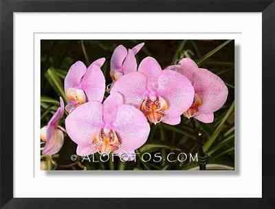 Orquideas, Phalaenopsis hybrida