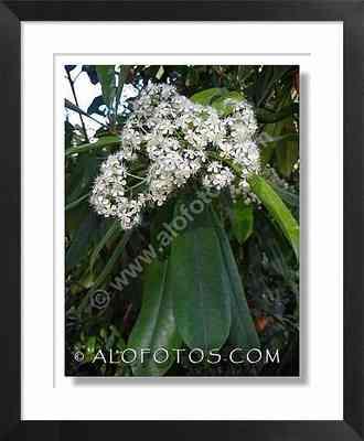 fotinia, Photinia serrulata - arbol ornamental