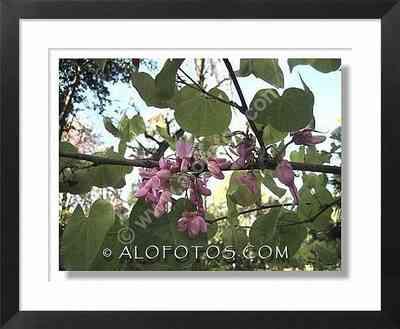 flores y hojas, Cercis siliquastrum - arbol ornamental