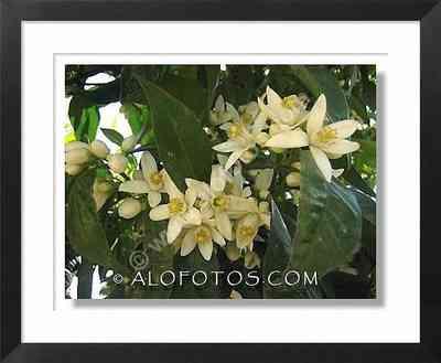 flores de azahar, naranjo amargo, Citrus aurantium - arbol ornamental