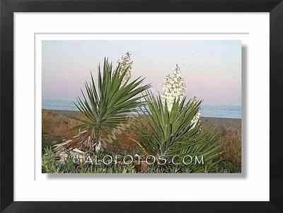 Yucca gloriosa, mar - plantas marinas