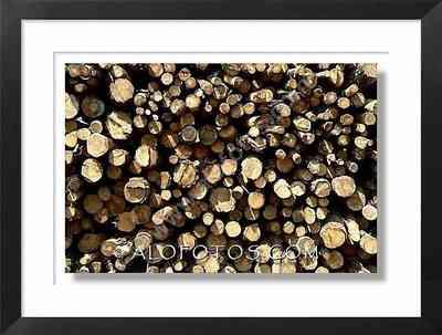troncos cortados,  pinos
