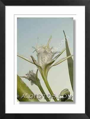 Pancratium maritimum, flor