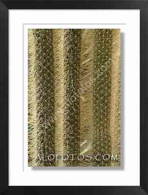 Austrocephalocereus dybouskii, cactus, espinas