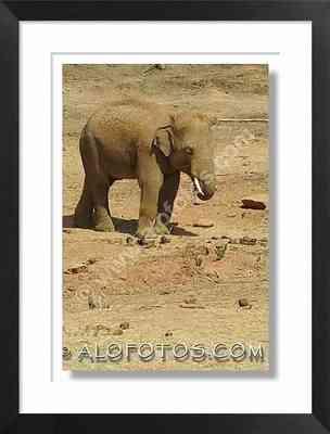 elefante asiatico - animales de asia