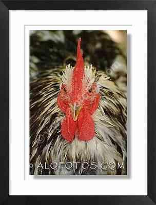 gallo, cabeza