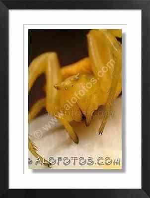 Araña cangrejo, Thomisus onustus