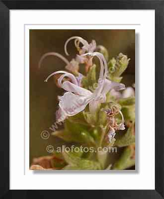 flores de romero, Rosmarinus officinalis - planta aromatica