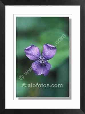 Flor silvestre, Viola sp.