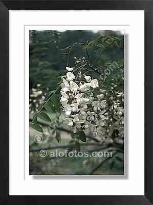 Flores, flasa acacia, Robinia pseudoacacia