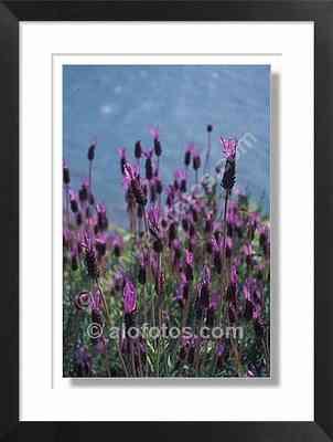 Lavandula stoechas, flores de lavanda - planta aromatica