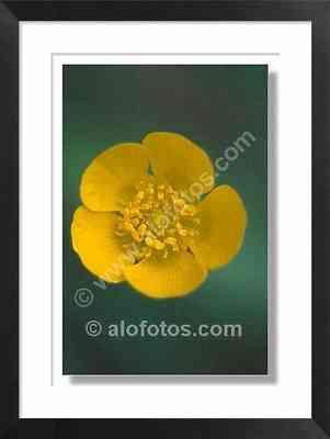 Flor de ranúnculo, Ranunculus bullatus