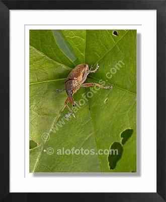 Gorgojo, escarabajo - Gorgojo
