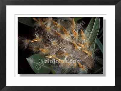 frutos de adelfa, Nerium oleander