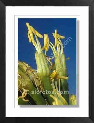 flores, pita, Agave americana