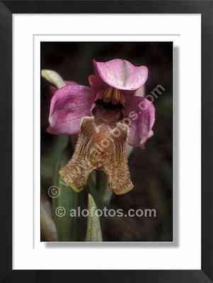 Orquidea silvestre, ophrys apifera