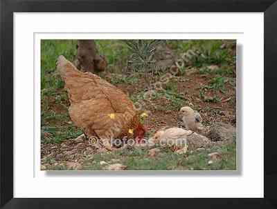 Gallina, pollitos - gallinas