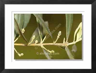 Rama de olivo, olea europaea