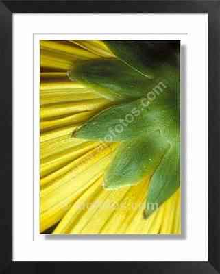 Crisantemo, cáliz