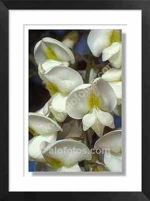 Robinia pseudoacacia, flores