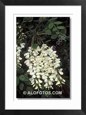 robinia pseudoacacia, falsa acacia